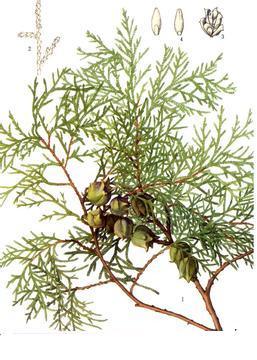 双子叶植物茎内部结构图