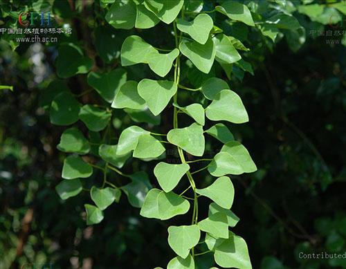 背景 壁纸 绿色 绿叶 树叶 植物 桌面 500_389