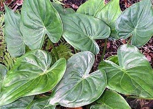 尖尾芋原植物